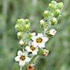 Heliotropium rotundifolium