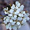 Peltaria angustifolia
