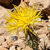 Centaurea drabifolia