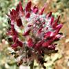 Astragalus emarginatus
