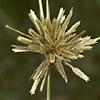 Cyperus flavidus