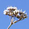 Bunium paucifolium