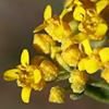 Alyssum baumgartnerianum