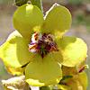 Verbascum damascenum