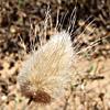 זנב-ארנבת ביצני