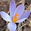 Crocus cancellatus