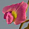 Tephrosia apollinea