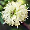 Acacia raddiana