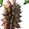 Glycyrrhiza echinata