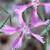 Dianthus pendulus