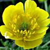 Ranunculus millefolius