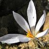 Crocus damascenus