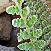 Cheilanthes vellea