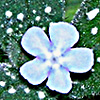 Nonea obtusifolia