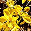 Hypericum libanoticum