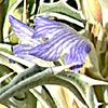 Blepharis attenuata